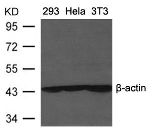 β-Actin Antibody - Absci