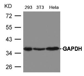 GAPDH Antibody - Absci
