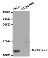 Histone H4R3me2a Polyclonal Antibody - Absci