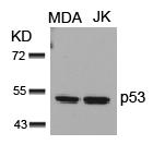 p53(Ab-15) Antibody - Absci