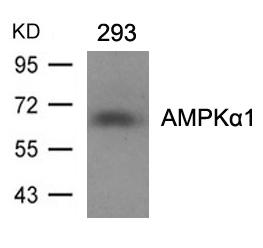AMPKα1(Ab-496)Antibody - Absci