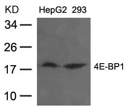4E-BP1(Ab-37) Antibody - Absci