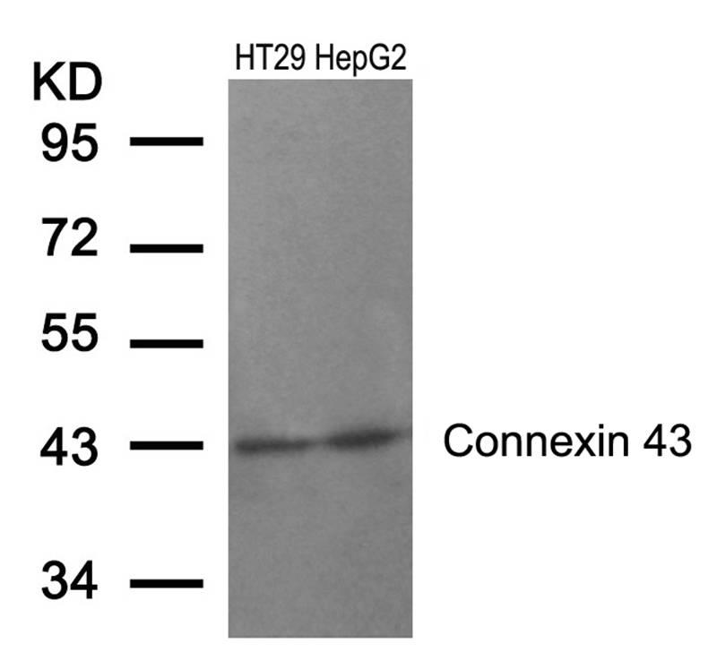 Connexin 43(Ab-368) Antibody - Absci