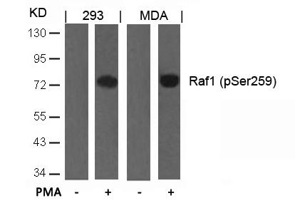 Raf1(Phospho-Ser259) Antibody - Absci