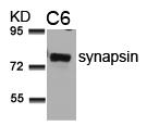 synapsin(Ab-9) Antibody - Absci