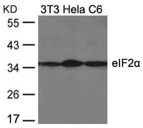 eIF2a(Ab-51) Antibody - Absci