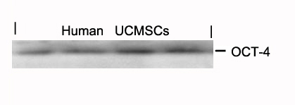 OCT-4 Antibody - Absci