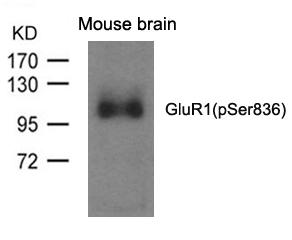 GluR1(phospho-Ser836) Antibody - Absci