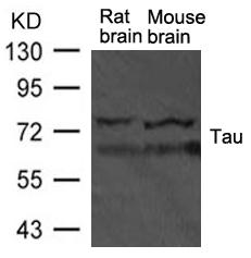 Tau Antibody - Absci