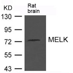 MELK Antibody - Absci