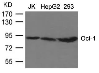 Oct-1 Antibody - Absci