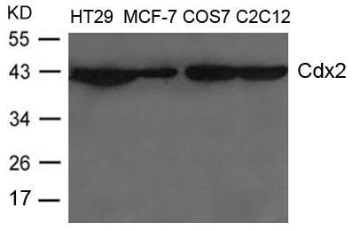 Cdx2 Antibody - Absci