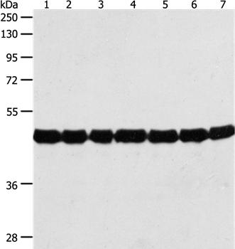 ACTIN Antibody - Absci