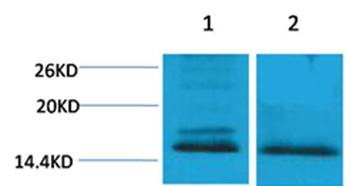Histone H4(Di-Methyl-Lys59) Rabbit Polyclonal Antibody - Absci