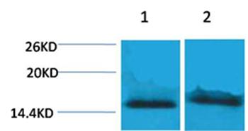 Histone H4(Tri-Methyl-Lys59) Rabbit Polyclonal Antibody - Absci
