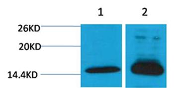 Histone H4(Di-Methyl-Lys79) Rabbit Polyclonal Antibody - Absci