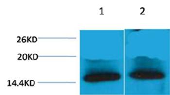 Histone H4(Tri-Methyl-Lys79) Rabbit Polyclonal Antibody - Absci