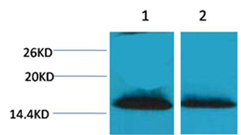 Histone H1(Di-Methyl-Lys25) Rabbit Polyclonal Antibody - Absci