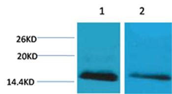 Histone H2B(mono-Methyl-Lys5) Rabbit Polyclonal Antibody - Absci