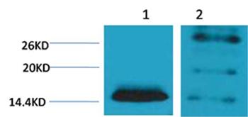 Histone H2B(Di-Methyl-Lys5) Rabbit Polyclonal Antibody - Absci
