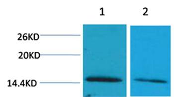 Histone H2B(Di-Methyl-Lys43) Rabbit Polyclonal Antibody - Absci