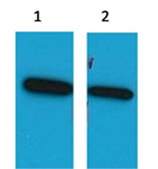 ECFP Mouse Polyclonal Antibody - Absci