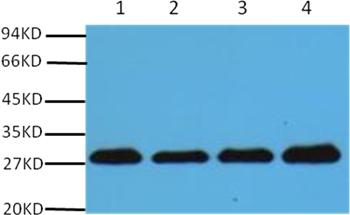 PCNA Mouse Monoclonal Antibody - Absci