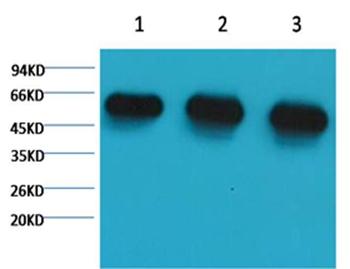 α-tubulin Mouse Monoclonal Antibody - Absci