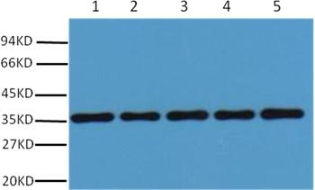 GAPDH Rabbit Polyclonal Antibody - Absci