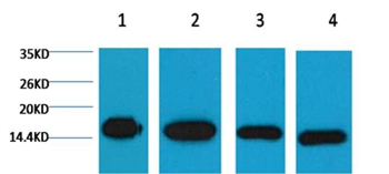 Histone H3 Mouse Monoclonal Antibody - Absci