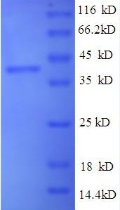 Recombinant Mycobacterium tuberculosis Peptidoglycan-binding protein ArfA - Absci