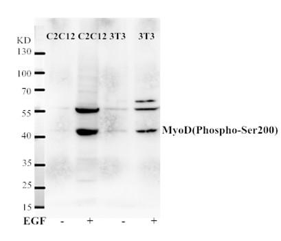 MyoD(Phospho-Ser200) Antibody - Absci