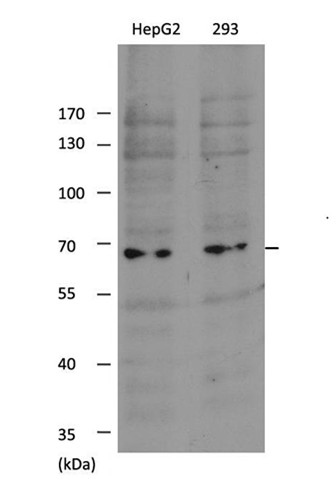 SHP-1(Ab-536) Antibody - Absci