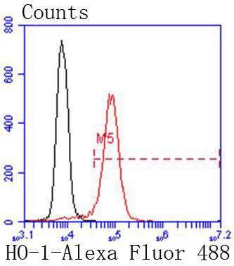 Heme Oxygenase 1(HO-1) Antibody - Absci